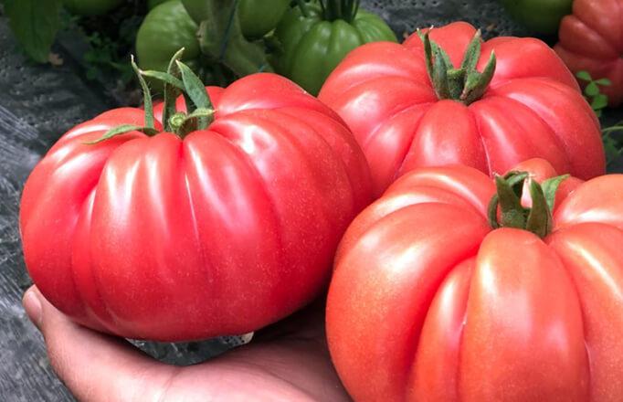 tomate-leroxy